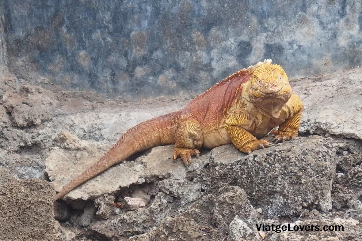 Iguana Terrestre de las Galápagos en la fundación Charles Darwin