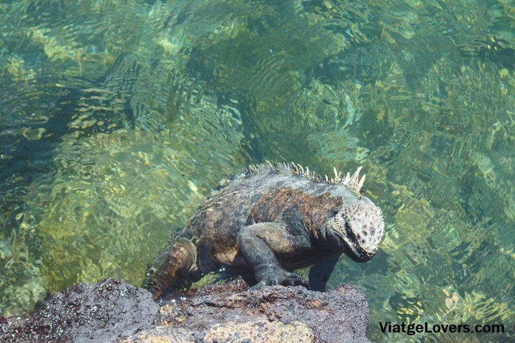 Espectacular iguana saliendo del agua