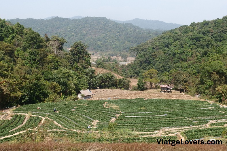 Campos de cultivo de la fresa