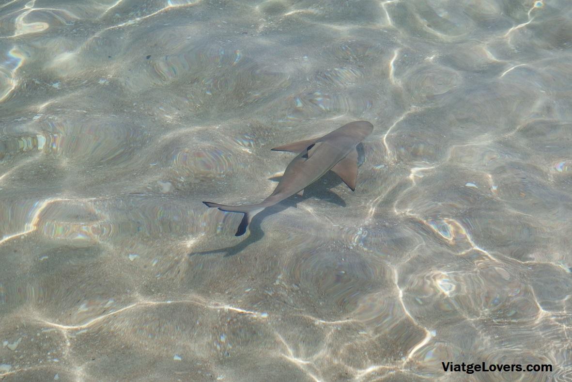 Baby Sharks en Sai Thong Beach, Koh Tao