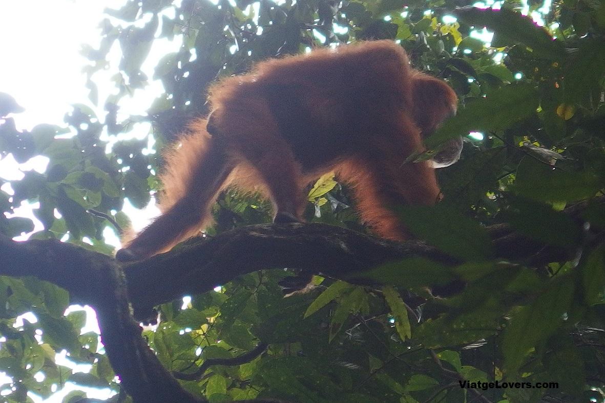 Orangutanes en Sumatra, ViatgeLovers.com