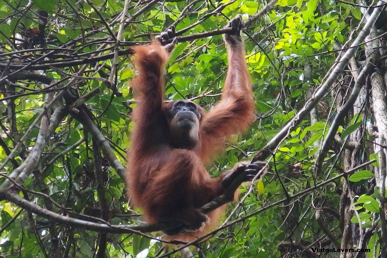 Orangutanes en la selva en Ketambe