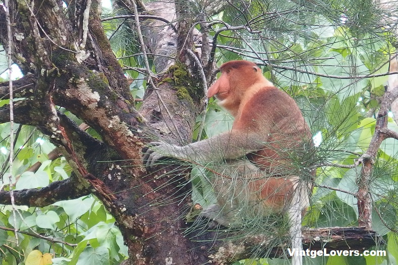 Proboscis Monkey, Bako National Park, Kuching (Borneo)