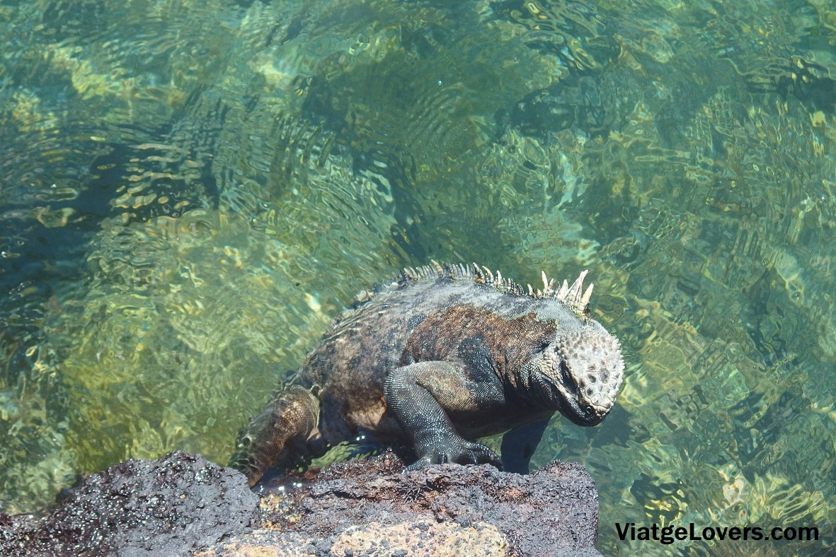 Iguana Marina en Concha de Perla, Isabela