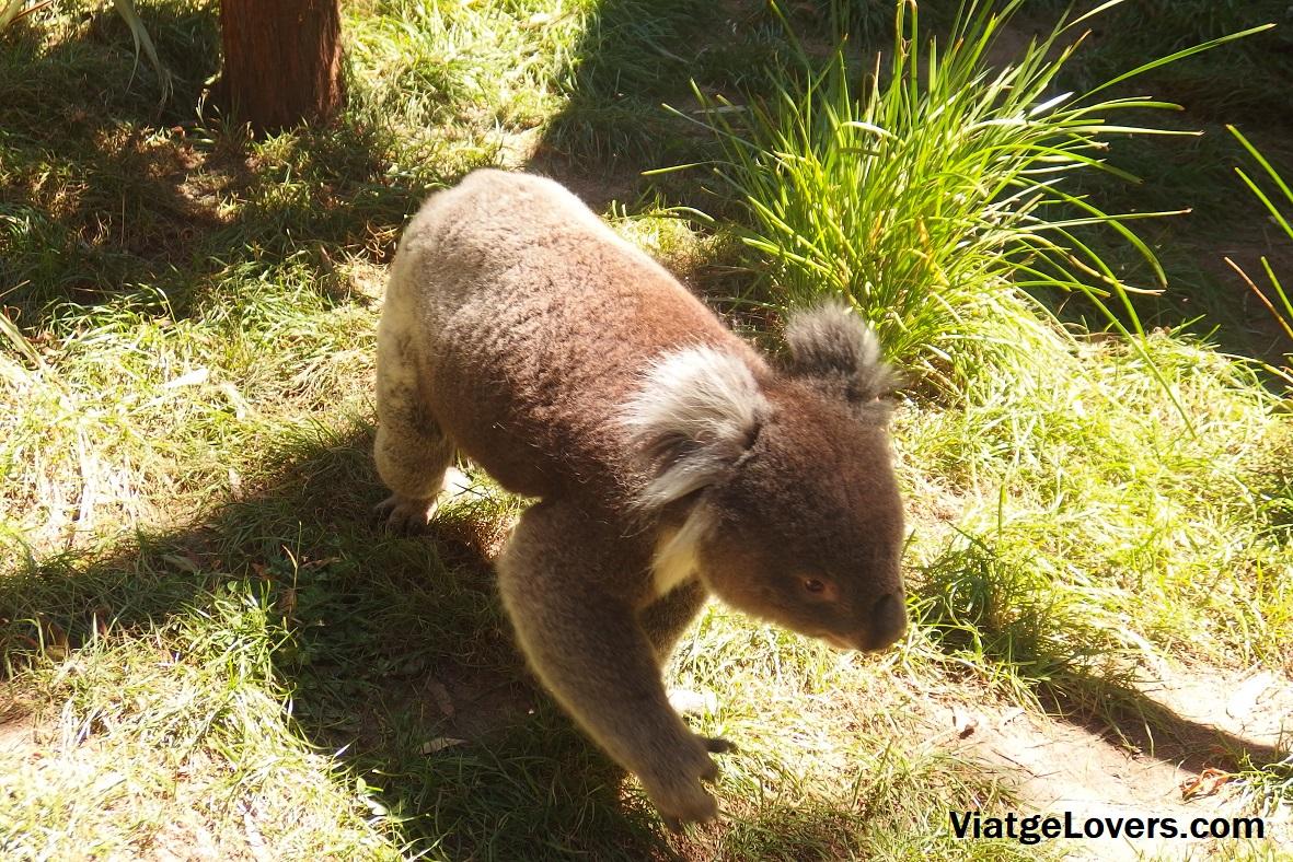 Koalas en Australia