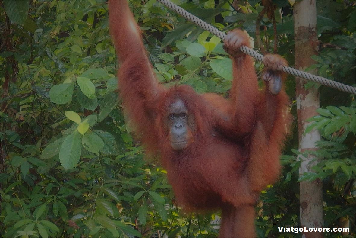 Semenggoh Natural reserve, Kuching (Borneo)