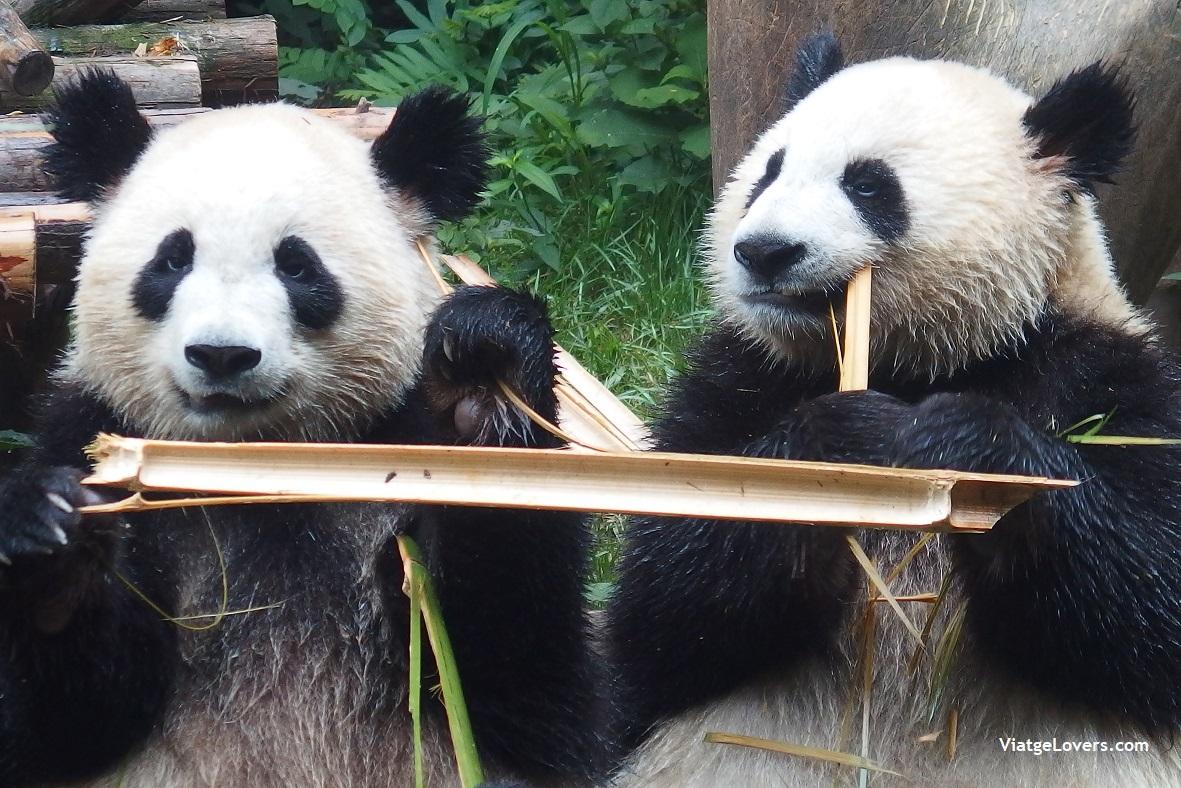 Reserva de osos panda -ViatgeLovers.com
