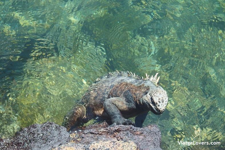Galápagos Iguanas. Destinos TOP en América-ViatgeLovers.com